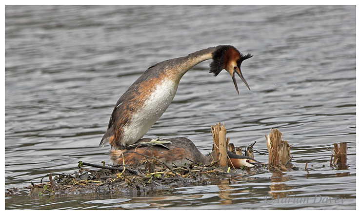 Great Crested Grebes mating.