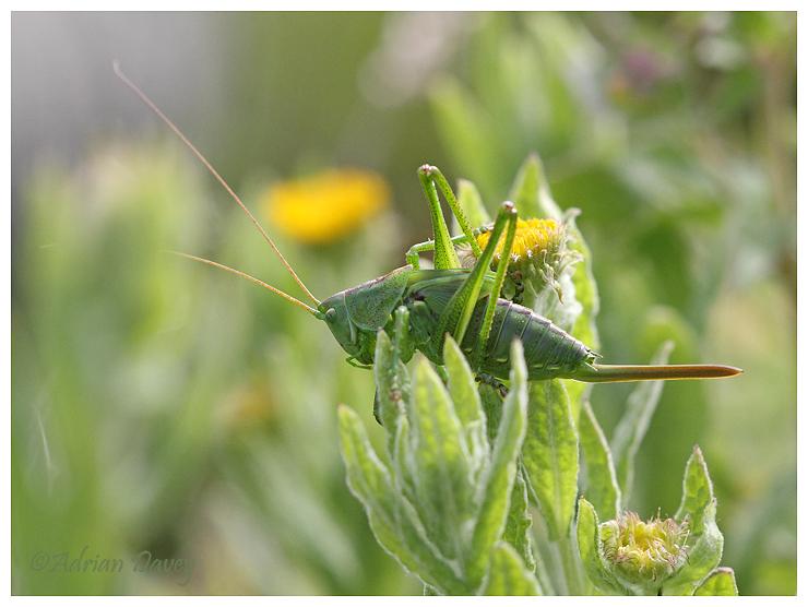 Great Green Bush Cricket.