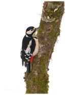 Great Spotted Woodpecker male