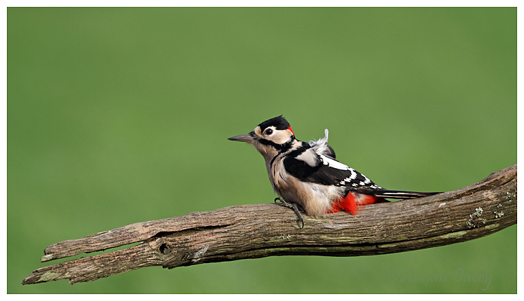 Great Spotted Woodpecker male.