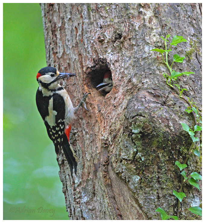 Great Spotted Woodpecker male feeding ypung