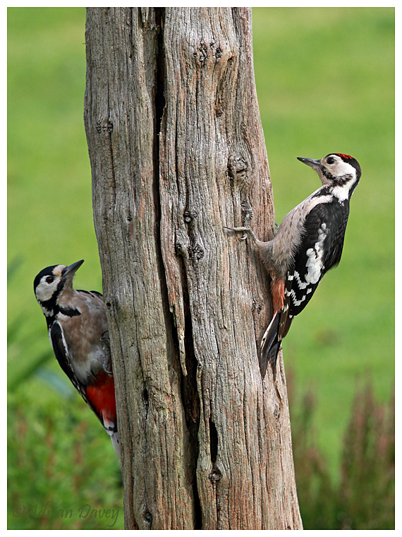 Great Spotted Woodpeckers. Female & Juvenile.