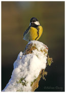 Great Tit on snowy tree stump