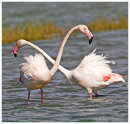 Greater Flamingoes.