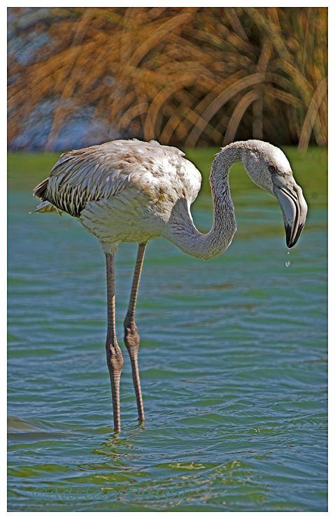 Juvinile Greater Flamingo