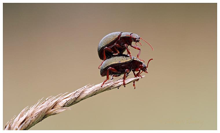 Green Leaf Beetle