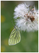 Green Veined White on Dandelion seedhead.