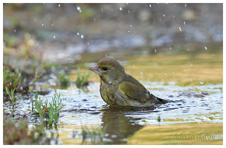 Greenfinch bathing