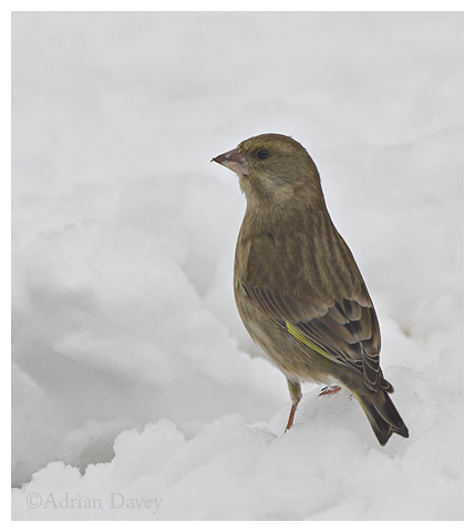 Greenfinch in the snow
