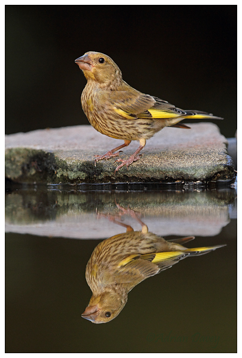 Greenfinch reflection 2