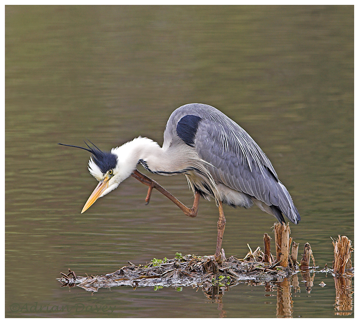 Grey Heron preening 2
