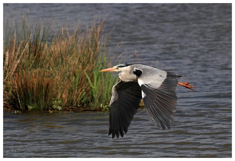 Grey Heron in flight