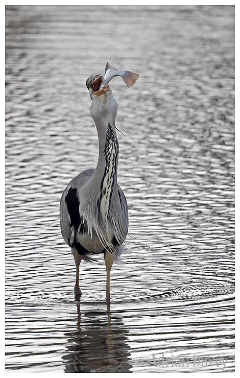 Grey Heron with big fish 5