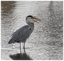 Grey Heron with big fish 4