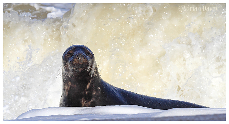 Grey Seal in the Suf