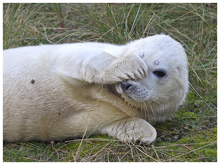Grey Seal Pup 2
