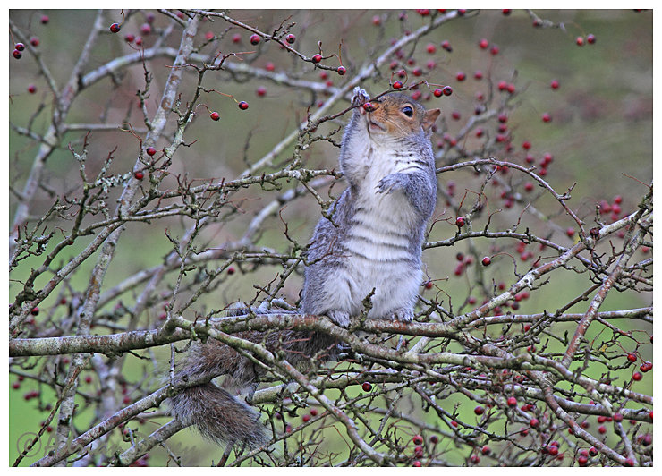 Grey Squirrel eating Haw Berries