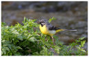 Grey Wagtail male with food for young