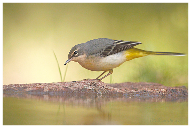 Grey Wagtail at waters edge.