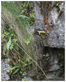 Grey Wagtail. Female at nest feeding young.