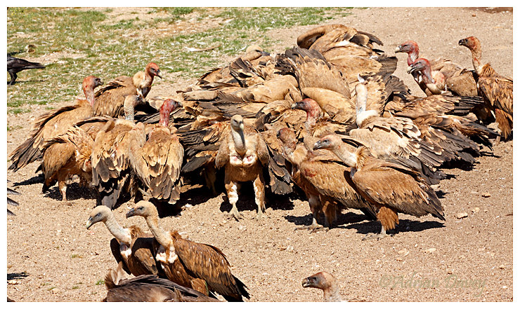Griffon Vultures in for the food.