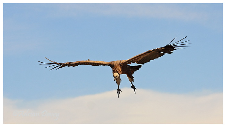 Griffon Vulture flying in.