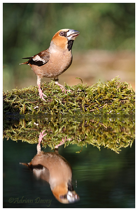 Hawfinch male at waters edge.