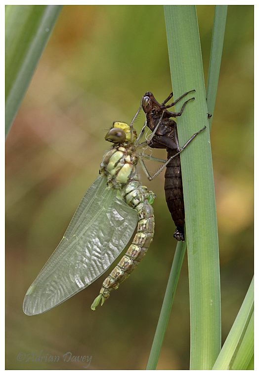 Southern Hawker emergence