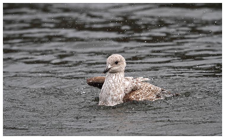 Herring Gull juvenile bathing