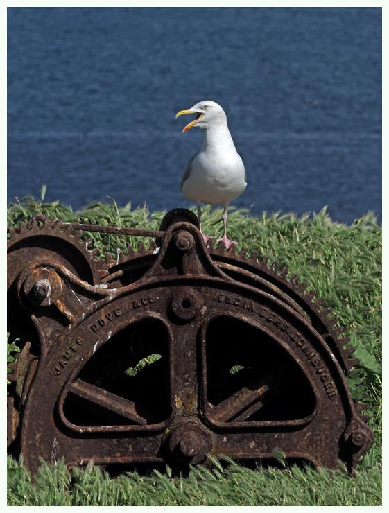 Herring Gull .