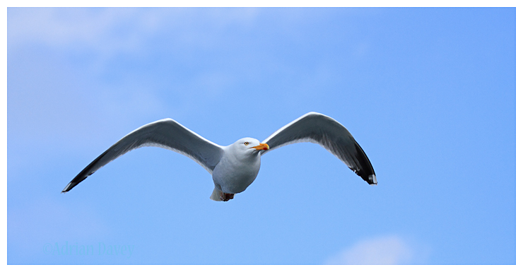 Herring Gull following boat (Mull charters)
