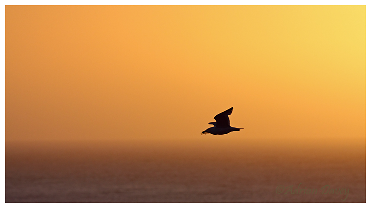 Herring Gull at sunset