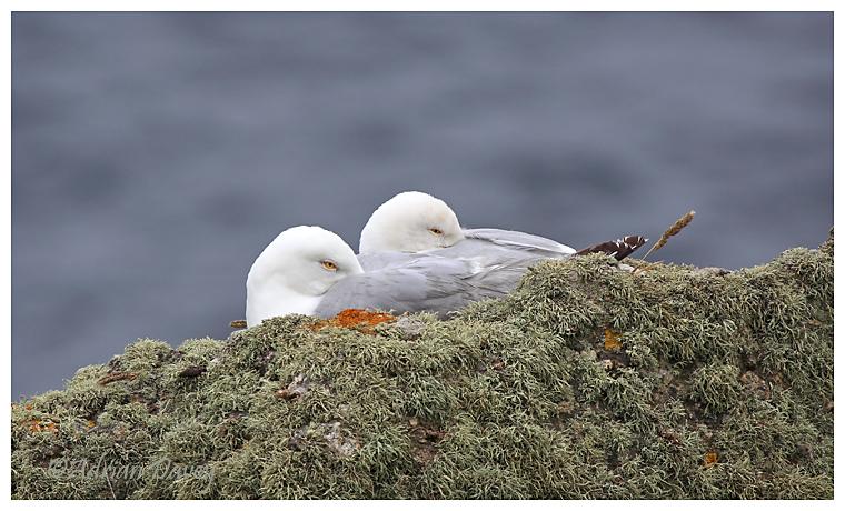 Sleepy Herring Gulls