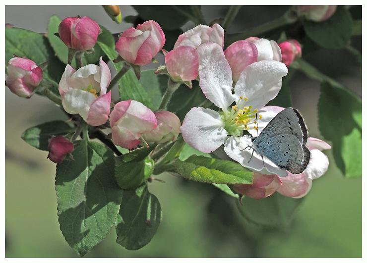 Holly Blue on Apple Blossom