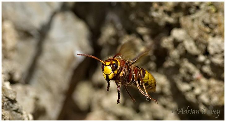 Hornet leaving nest