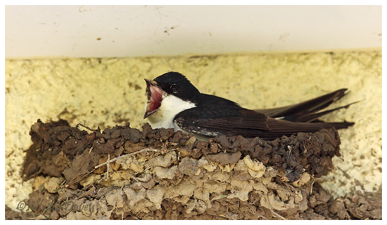 House Martin trying out half built nest for size.