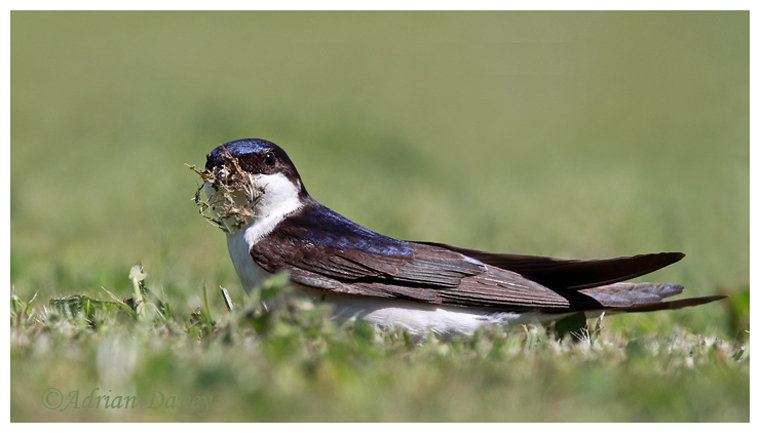 House Martin collecting nesting material.