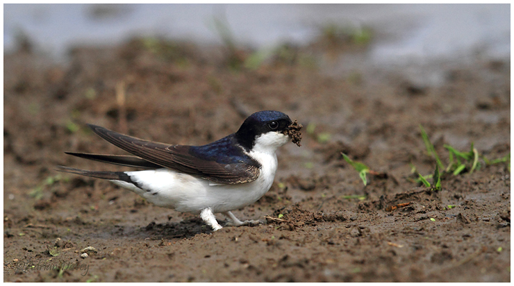 House Martin collecting mud.