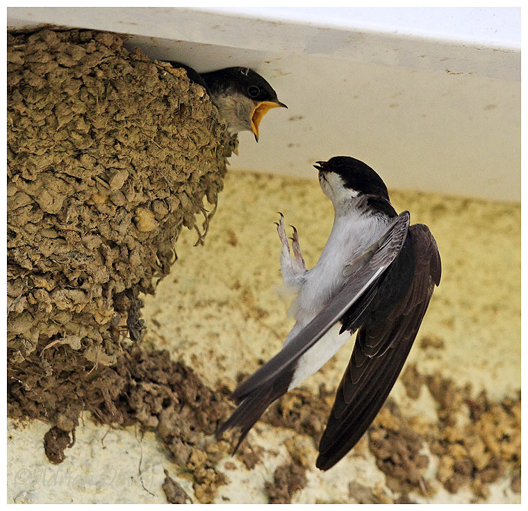 House Martin arriving at nest.