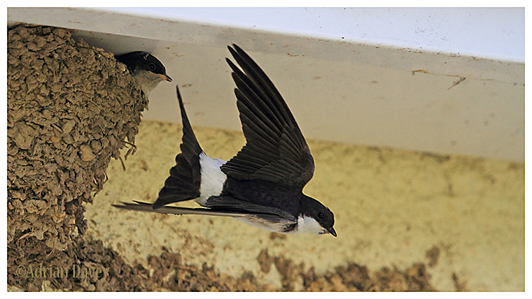 House Martin fly by