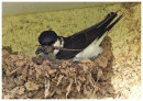 House Martin nest building