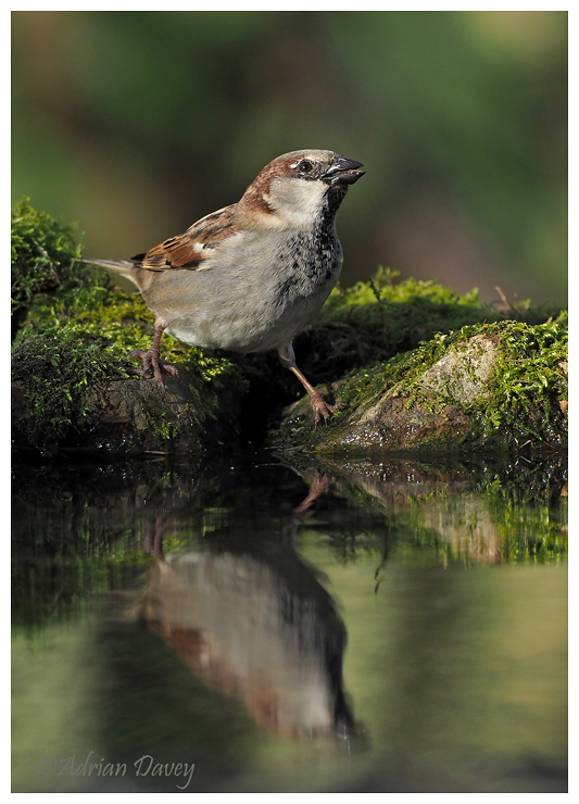 House Sparrow male drinking