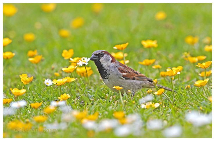 House Sparrow and Buttercups