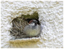 Male House Sparrow at nest entrance.