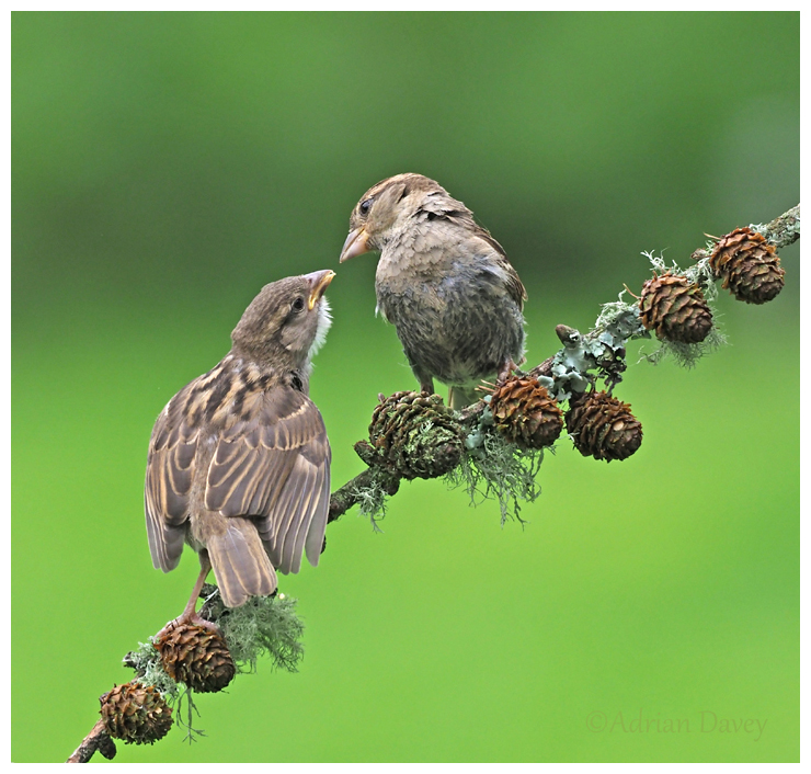 House Sparrow female feeding young