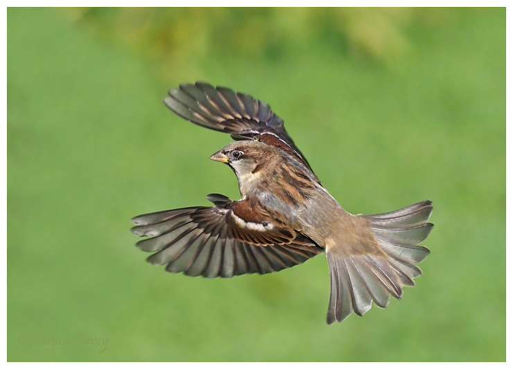 House Sparrow flight