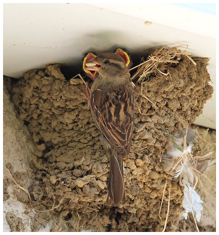 House Sparrow female feeding young in taken over House Martin nest.
