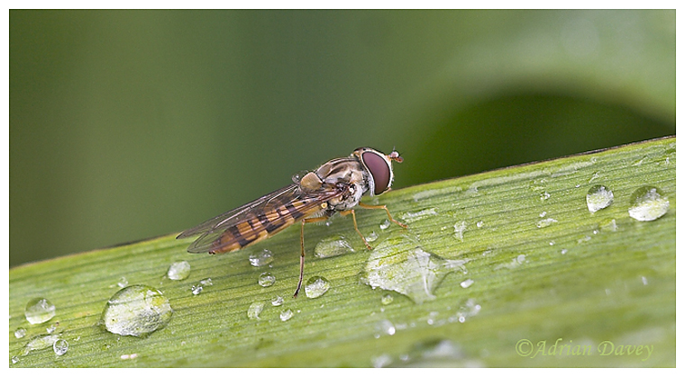Hoverfly after the rain