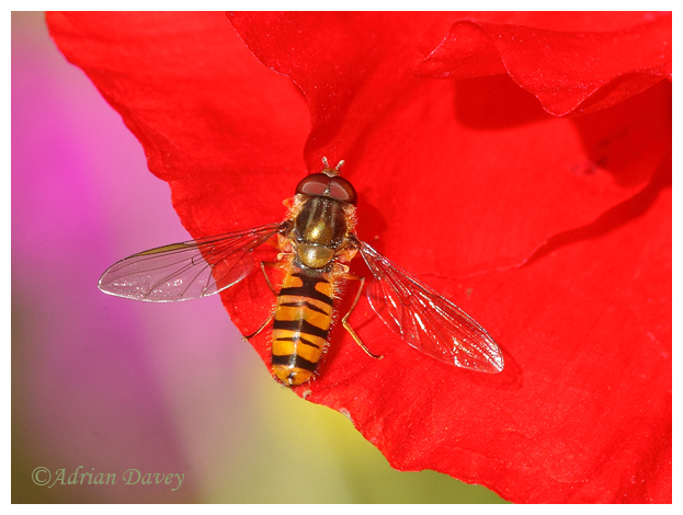 Hoverfly on red Poppy