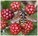Hoverfly on Blackberries